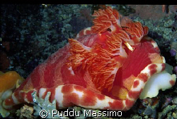 spanish dancer and shrimp,nikon f90x 60mm macro by Puddu Massimo