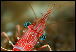 Dancing shrimp - Similan islands - 105 mm macro by Dejan Sarman