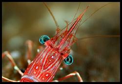Dancing shrimp - Similan islands - 105 mm macro by Dejan Sarman