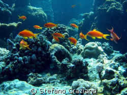Pseudanthias, spot: dolphin house south red sea by Stefano Graziano