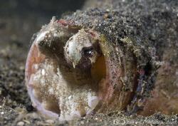 Veined octopus. Home sweet home! Lembeh straits. D200, 60mm. by Derek Haslam