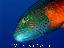 Curious wrasse inspecting my lens port, taken at Marsa Ba... by Nikki Van Veelen