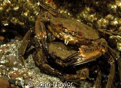 Velvet swimming crabs mating. St. Abbs. Scotland.Nikon D2... by John Naylor
