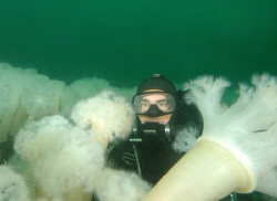Diver and Plume Anemone, Seattle. by David Heidemann
