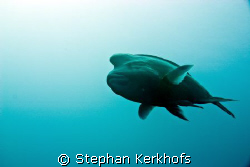 Napoleon wrasse -Cheilinus undulatus- taken at the Dunrav... by Stephan Kerkhofs