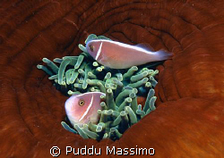 clown fishes,nikon f90x 60mm macro by Puddu Massimo
