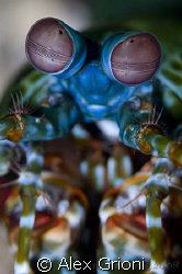 Peacock mantis shrimp by Alex Grioni