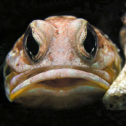 Jawfish, Bunaken by Doug Anderson