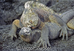 matting iguanas in galapagos, looks rough by Victor Zucker
