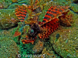 Lionfish in fantastic color by Yang Wang