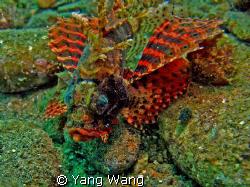 Lionfish in fantastic color by Yang Wang