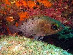 """Squirrelfish""  Photo taken on 2 February 2008 during a d... by Bill Stewart"