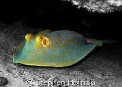 Blue Spotted Stingray, original photo taken with Canon G7... by Stephen Holinski