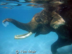 Rajan the Elephant blowing bubbles in the water during an... by Kim Mair