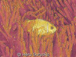 anemone in two colors by Heru Suryoko