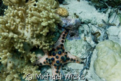 Chocolate Chip Starfish coral by Michael Wicks