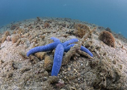 Blue sea star. Lembeh straits. D200, 10.5mm. by Derek Haslam
