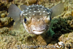 yellowspotted burrfish (cyclichthys spilostylus) taken at... by Stephan Kerkhofs