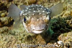 yellowspotted burrfish (cyclichthys spilostylus) taken at... by Stephan Kerkhofs
