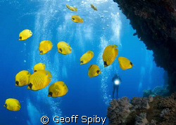 school of butterflyfish at Little Brother by Geoff Spiby