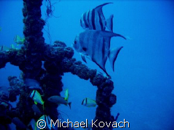 Atlantic Spadefish on the Spiegel Grove out of Key Largo by Michael Kovach
