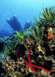 Typical Mediterranean environment with sponges, algae and... by Fabrizio Frixa