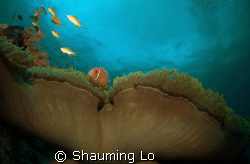 Clownfish by Shauming Lo