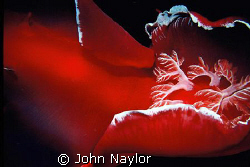spanish dancer.gill section.taken on night dive.nik.3  by John Naylor