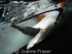 Dr. Sam Gruber and his scientific associates catch and ta... by Joanne Fraser