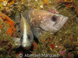 Pair of Greater Soapfish by Abimael Márquez