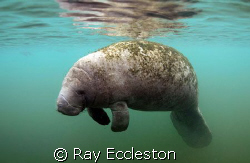 Lone Manatee. Camera Nikon D-200 by Ray Eccleston