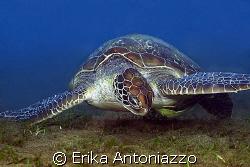 Green turtle enjoying his food. by Erika Antoniazzo