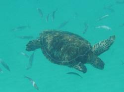 Swimming with sea turtles by Lori Slenker