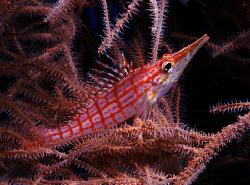Longnose hawkfish, Bunaken by Doug Anderson