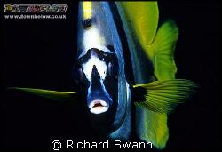Give Us A Kiss ! Banner Fish, Nikon F90x 60mm, one Harten... by Richard Swann