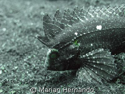 Found in Lembeh strait, North Sulawesi, Indonesia by Marian Hernando