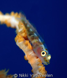 Whip goby with at a different angle taken at Sharks Obser... by Nikki Van Veelen