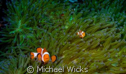 Clown fish, anemone by Michael Wicks