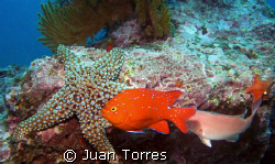 The famous Garibaldi abound in the coasts of California. ... by Juan Torres