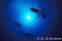Two grey reef sharks and my buddy. D50/12-24mm (Borabora). by Moeava De Rosemont