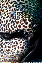 Honeycomb moray, Gymnothorax favagineus resting its head ... by Anouk Houben