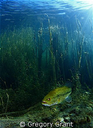 freshwater bass ,photo taken in a old flooded quary in so... by Gregory Grant