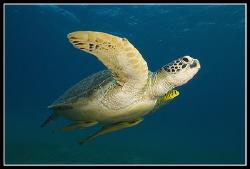 Green turtle, 17-40 mm, Canon EOS 5D, 2x Ikelite DS125 by Dejan Sarman