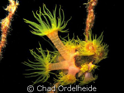 Night Blooms. Canon A640. Night Dive on the Toki by Chad Ordelheide