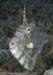 Strapweed filefish. Lembeh straits. D200, 60mm. by Derek Haslam