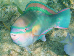 Parrotfish shows off it's colors. by Lori Slenker