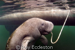 Manatee on a rope, Camera Nikon D-200 by Ray Eccleston