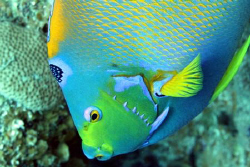 Queen Angelfish from Cozumel by Claire Kennedy