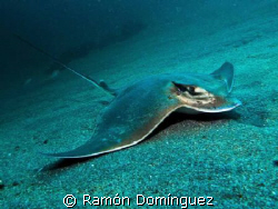 Bat Ray resting on the sand. by Ramón Domínguez