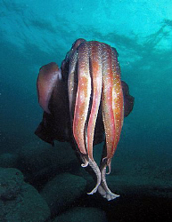 Giant cuttle, Sydney by Doug Anderson